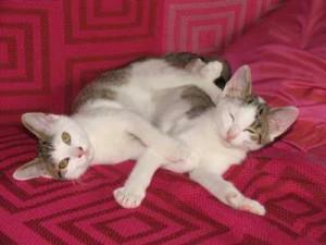 zwei junge katzen spielen, flohbefall untersuchen, katzenflöhe